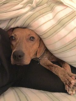 Dachshund/Whippet Mix Dog for adoption in Wantagh, New York - Sally