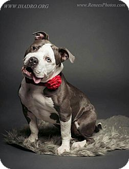 Staffordshire Bull Terrier Dog for adoption in Blacklick, Ohio - Bunny