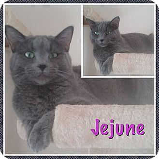 Domestic Shorthair Kitten for adoption in Cedar Springs, Michigan - Jejune