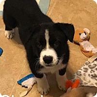 Adopt A Pet :: Shania - Chico, CA
