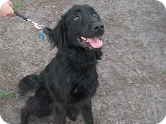 Flat-Coated Retriever Mix Dog for adoption in Orange Park, Florida - Vadar