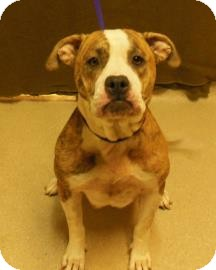 American Pit Bull Terrier Mix Dog for adoption in Gary, Indiana - Dawn