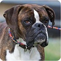 Adopt A Pet :: Bluto - Providence, RI