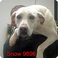 Adopt A Pet :: Snow - baltimore, MD