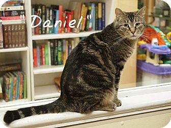 Domestic Shorthair Cat for adoption in Ocean City, New Jersey - Daniel