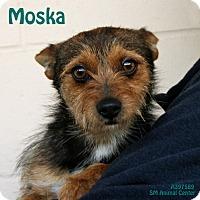 Adopt A Pet :: Moska - Santa Maria, CA