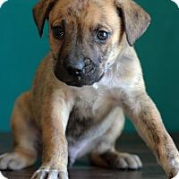 Adopt A Pet :: Drew - Waldorf, MD