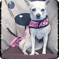 Chihuahua Dog for adoption in Los Alamitos, California - Layla 2