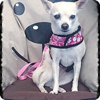 Adopt A Pet :: Layla 2 - Los Alamitos, CA