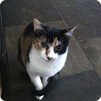 Adopt A Pet :: Calico Willow - Phoenix, AZ