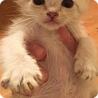 Adopt A Pet :: Thor - Herndon, VA