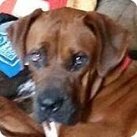 Mastiff Dog for adoption in Burnham, Pennsylvania - Maris