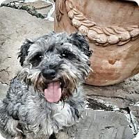 Standard Schnauzer Dog for adoption in Alvin, Texas - Sonny-lovebug-S