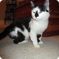 Domestic Shorthair Cat for adoption in Winterville, North Carolina - NIKKI