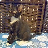 Adopt A Pet :: Yテコ - Chandler, AZ