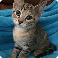 Adopt A Pet :: Phoebe kate $85 Female Kitten - knoxville, TN