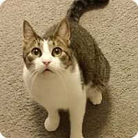 Domestic Shorthair Cat for adoption in Clarksville, Tennessee - Choco