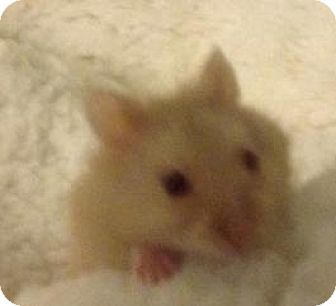 Hamster for adoption in St. Paul, Minnesota - Twizzler