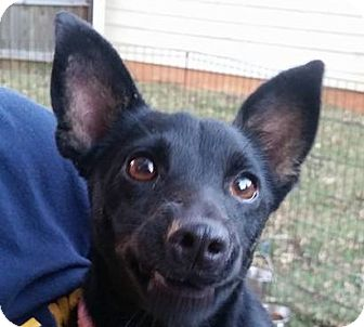 Chihuahua/Dachshund Mix Dog for adoption in Newnan, Georgia - Miss Ellie