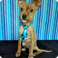 Terrier (Unknown Type, Small)/Chihuahua Mix Puppy for adoption in Troutville, Virginia - Bronson