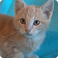 Domestic Shorthair Kitten for adoption in Spring Valley, New York - Matt