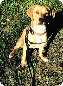 Hound (Unknown Type)/Labrador Retriever Mix Dog for adoption in Pembroke, New York - Liza
