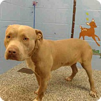 Pit Bull Terrier Mix Dog for adoption in San Bernardino, California - URGENT on 12/1 SAN BERNARDINO