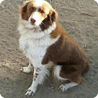 Australian Shepherd/Border Collie Mix Dog for adoption in Paso Robles, California - Coco