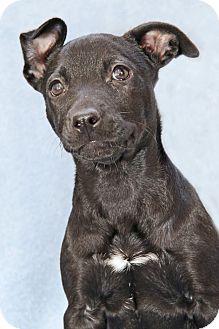 Labrador Retriever/Pit Bull Terrier Mix Puppy for adoption in Encinitas, California - Nutelia