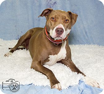 Labrador Retriever/Hound (Unknown Type) Mix Dog for adoption in Divide, Colorado - Supriah