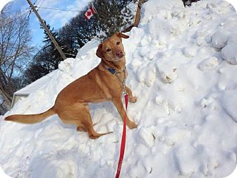 Labrador Retriever Mix Dog for adoption in Winnipeg, Manitoba - DAISY
