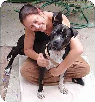 American Pit Bull Terrier/American Pit Bull Terrier Mix Dog for adoption in West Los Angeles, California - Mr. Sweetie