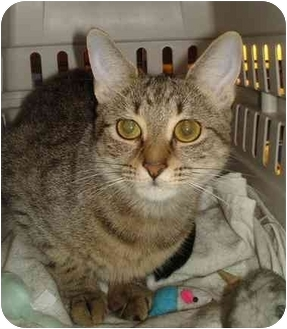 Domestic Shorthair Cat for adoption in Chesapeake, Virginia - Angel