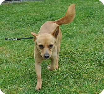 Chihuahua Mix Dog for adoption in Tumwater, Washington - Ginger