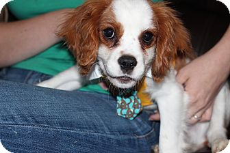 Cavalier King Charles Spaniel/Spaniel (Unknown Type) Mix Dog for adoption in batlett, Illinois - Sir Lance a lot