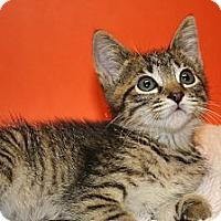 Adopt A Pet :: DESTINY - SILVER SPRING, MD