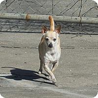 Adopt A Pet :: Pebbles - Ormond Beach, FL