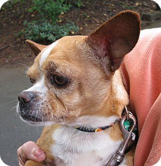 chihuahua french bulldog mix hector adopted dog salem or chihuahua french 2108