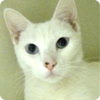Domestic Shorthair Cat for adoption in Key Largo, Florida - Rose