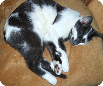 Domestic Shorthair Cat for adoption in Columbus, Ohio - Sixer