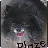 Adopt A Pet :: Blaze - Orange, CA