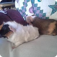 Adopt A Pet :: Peter Pan & Michael - San Antonio, TX