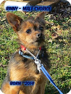 Yorkie, Yorkshire Terrier/Chihuahua Mix Dog for adoption in Huddleston, Virginia - Rinny