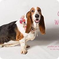 Adopt A Pet :: Ginny Weasley - Chino Hills - Chino Hills, CA