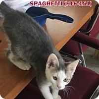 Adopt A Pet :: Spaghetti - Tiffin, OH
