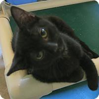 Adopt A Pet :: Acapella - Geneseo, IL