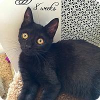 Domestic Shorthair Kitten for adoption in Island Park, New York - Peggy