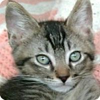 Adopt A Pet :: Lynx - LaJolla, CA