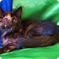 Domestic Shorthair Kitten for adoption in St. Louis, Missouri - Bessie Mae