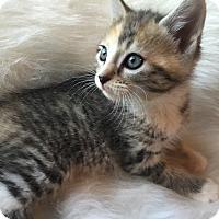 Adopt A Pet :: Skittles - Adoption Pending! - Colmar, PA